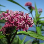 swamp-milkweed-wildflower
