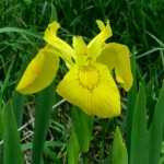 yellow-flag-iris-wisconsin