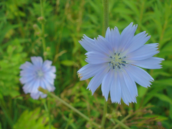 chicory-wildflower